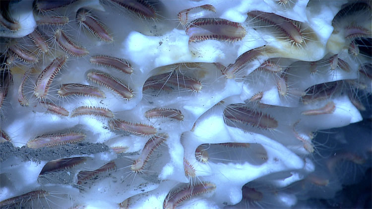 Methane ice worms inhabiting a white methane hydrate seen in the Gulf of Mexico, 2102. Studies suggest that these worms eat chemoautotrophic bacteria that are living off of chemicals in the hydrate. Image courtesy of NOAA Okeanos Explorer Program.