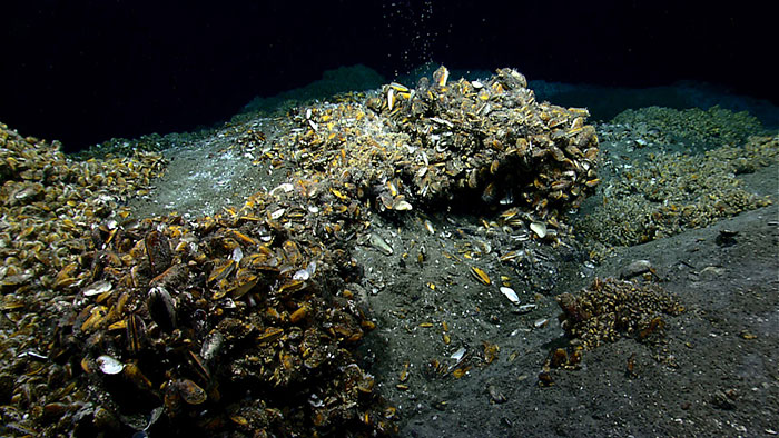 Overview of extensive chemosynthetic mussel communities colonizing carbonate and sedimented mounds at a seep site south of Norfolk Canyon. Image courtesy of NOAA Okeanos Explorer 2013 ROV Shakedown and Field Trials in the U.S. Atlantic Canyons.