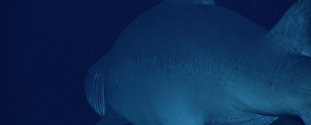 Shark. Image courtesy of the NOAA Okeanos Explorer.
